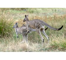 On the Hop, Eastern Grey Kangaroos, Halls Gap, Victoria Photographic Print