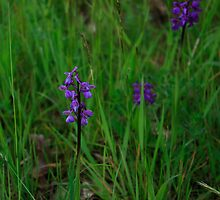 Orchis in the field (2) by Anne  RENARD