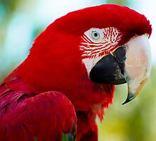 Macaw Headshot by Dustin Williams