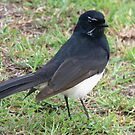A Wee Willie Wagtail by stevealder
