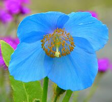 Himalayan Blue Poppy  by AndreaEL