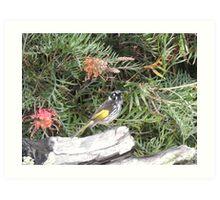 New Holland Honeyeater - Mt Barker WA Art Print