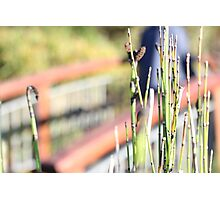 Grass Reeds Photographic Print
