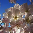 Cherry blossom at lunchtime by Themis