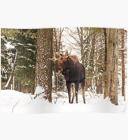 Bull moose in a winter landscape Poster