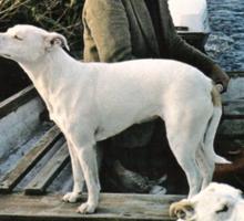 Beard Man Dogs Boat Sticker