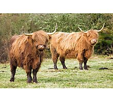 Highland Cows Coos Shaggy Moos Cattle Photo Photographic Print