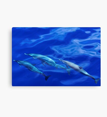 Striped Dolphins of the Caribbean Island of Dominica (2) Canvas Print