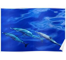 Striped Dolphins of the Caribbean Island of Dominica (2) Poster