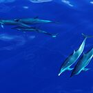 Striped Dolphins of the Caribbean Island of Dominica by Stephen Frost