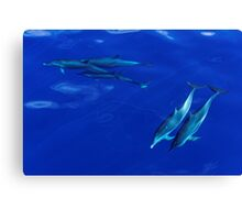 Striped Dolphins of the Caribbean Island of Dominica Canvas Print
