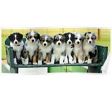 Australian Shepherd Puppies Watercolor Poster