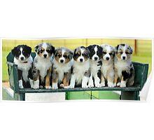 Australian Shepherd Puppies Watercolor Poster