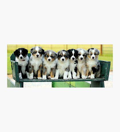 Australian Shepherd Puppies Watercolor Photographic Print