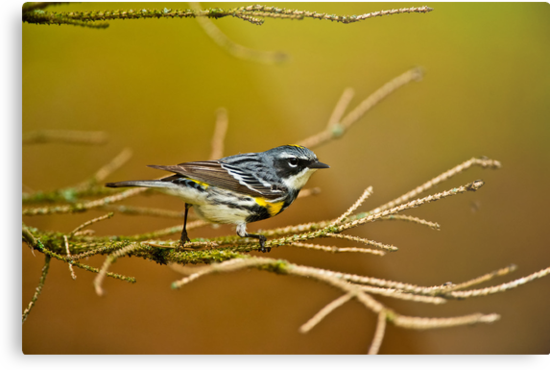 Yellow-rumped Warbler by Michael Cummings