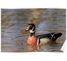 Wood duck glides on the water Poster