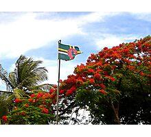 Dominican Flamboyant tree Photographic Print