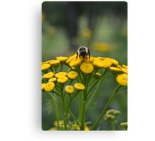 Bumble Bee on Yellow Wildflower Canvas Print