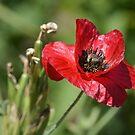 Poppy by Sunshinesmile83