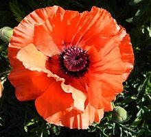 Large Poppy Flower by NatureLover2013