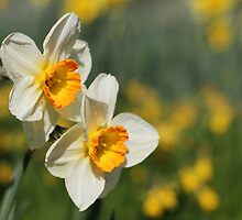 Poet's Daffodils by Harald Ole Hansen