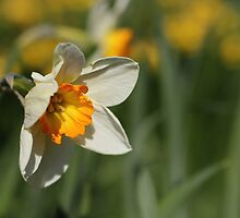 Poet's Daffodil by Harald Ole Hansen
