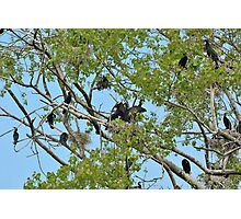 Cormorants on their nest with chicks  Photographic Print