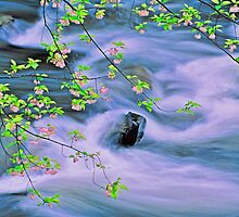 SPRING,MIDDLE PRONG LITTLE RIVER,TREMONT by Chuck Wickham