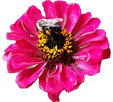 Zinnia and Bee Photographic Print