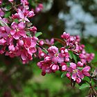 Crab Apple Blossoms (2) by goddarb