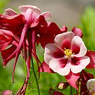 Beautiful Columbine by autumnwind