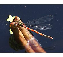 Red Demoiselle on curled-up lily leaf Photographic Print