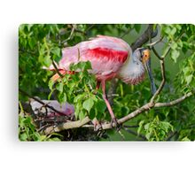 Roseate Spoonbill at Louisiana Rookery Canvas Print