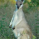 Pretty Face Wallaby # 2 by Penny Smith
