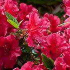 Red Azalea by barnsis
