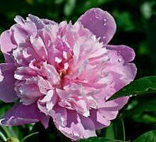 Pink Peony by barnsis
