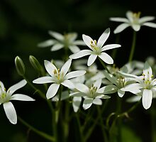 Star of Bethlehem by Lynn Gedeon