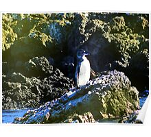 Penguin Near Isabela In The Galapagos Islands Poster