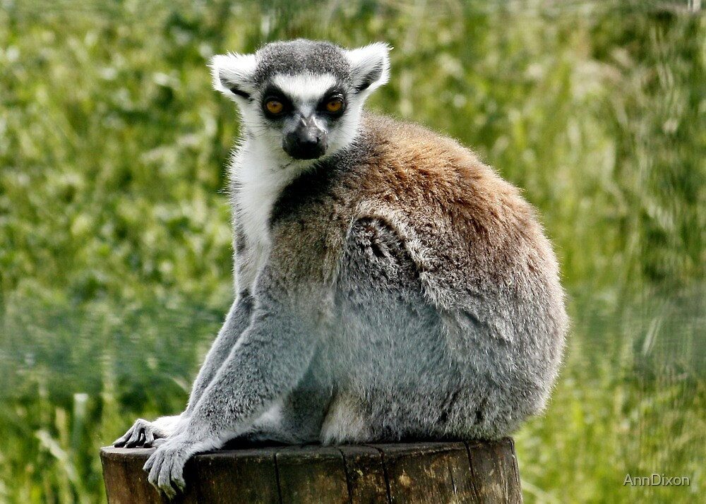 Ring Tailed Lemur by AnnDixon