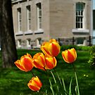Tulips at the Court House by goddarb
