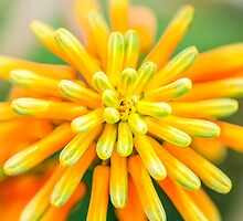 Atom Orange Flower by MMPhotographyUK