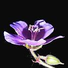 Purple Wild Geranium by Martha Medford