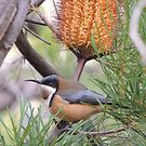 Eastern spinebill (Acanthorhynchus tenuirostris) - Mount Lofty, South Australia by Dan & Emma Monceaux