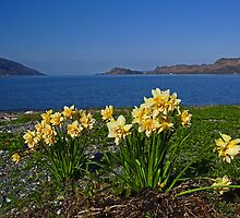 Daffodils at Inverie by Kat Simmons