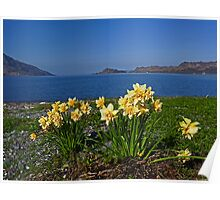 Daffodils at Inverie Poster
