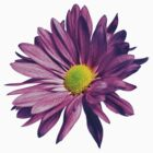 Purple daisy by ghjura
