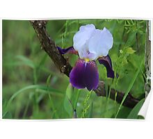 Iris and grape vine Poster