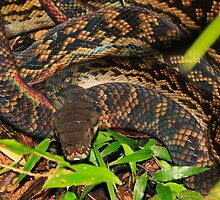 Detail of Amethystine Python  (Morelia amethistina ) -   Daintree Rainforest  FNQ by john  Lenagan