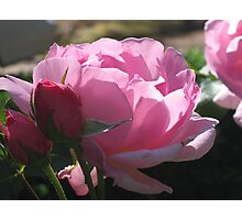 """Rose """"Sir Walter Raleigh"""" at its Finest Photographic Print"""