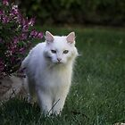 White cat I by Lynn Starner